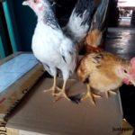 Ayam Serama Umur 3 Bulan