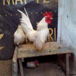 Ayam Serama Umur 5 Bulan 5 1 Jual Ayam Hias HP : 08564 77 23 888 | BERKUALITAS DAN TERPERCAYA Galeri Foto