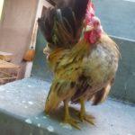 Ayam Serama Umur 5 Bulan 9 1 Jual Ayam Hias HP : 08564 77 23 888 | BERKUALITAS DAN TERPERCAYA Galeri Foto