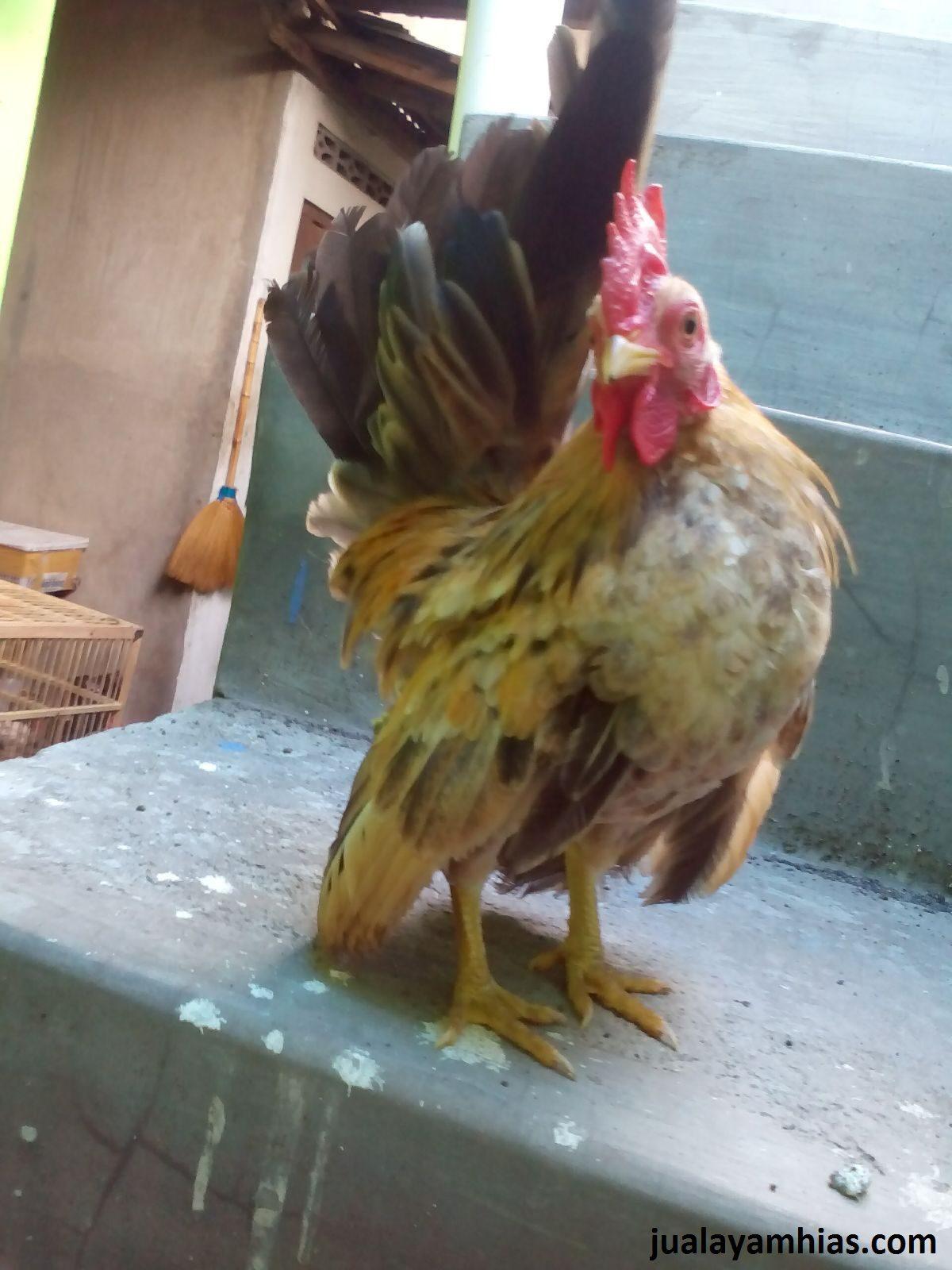 Ayam Serama Umur 5 Bulan 9 1 Ayam Bekisar Jual Ayam Hias HP : 08564 77 23 888 | BERKUALITAS DAN TERPERCAYA Ayam Bekisar Ayam Bekisar, Ayam Polan, Ayam Batik Kanada Gold dan Ayam Serama Persiapan Kirim ke Pak Rendy di Daerah Karya Jaya Palembang