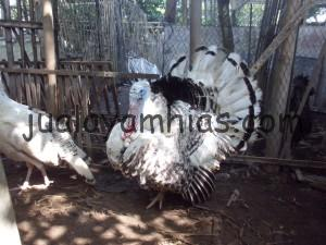 Foto Ayam Kalkun Royal Palm