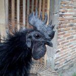 Jengger Ayam Cemani Walik 2 Jual Ayam Hias HP : 08564 77 23 888 | BERKUALITAS DAN TERPERCAYA Galeri Foto