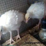 Kalkun Putih umur 2 Bulan BetinaAyam Kalkun White Holland Turkey Umur 2 Bulanan Betina Jual Ayam Hias HP : 08564 77 23 888 | BERKUALITAS DAN TERPERCAYA Galeri Foto