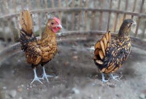 Kanada 3 Bulan Pengiriman Ayam Pesanan Pak Sigit di Banyumas Jual Ayam Hias HP : 08564 77 23 888 | BERKUALITAS DAN TERPERCAYA Pengiriman Ayam Pesanan Pak Sigit di Banyumas Pengiriman Ayam Pesanan Pak Sigit di Banyumas