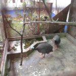 Kandang Ayam Mutiara 1 Jual Ayam Hias HP : 08564 77 23 888 | BERKUALITAS DAN TERPERCAYA Galeri Foto