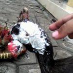 Kepala Ayam Mutiara Dewasa 1 Jual Ayam Hias HP : 08564 77 23 888 | BERKUALITAS DAN TERPERCAYA Galeri Foto