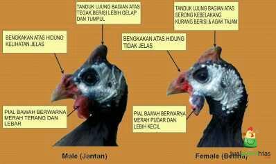 Berikut adalah perbedaan antara ayam mutiara berjenis kelamin jantan dan ayam mutiara berjenis kelamin betina
