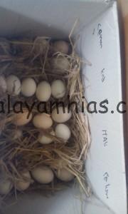 Pemilihan Telur Sebelum di Bungkus