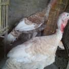 Sepasang Self Buff Turkey