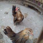 Ayam Serama Umur 2 Bulan Pesanan Bapak Benny di Jakarta