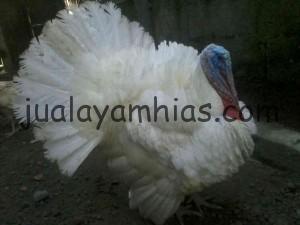 Ayam Kalkun Albino