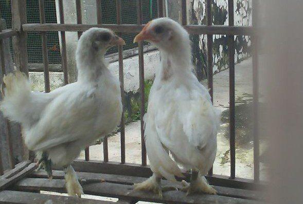 Ayam Chocin Umur 2 Bulan