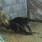 Gambar Ayam Phoenix