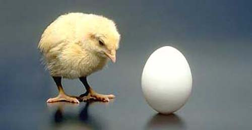umur ayam1 15 Fakta Tentang Ayam yang Penghobi Ayam Hias Perlu Ketahui Jual Ayam Hias HP : 08564 77 23 888 | BERKUALITAS DAN TERPERCAYA 15 Fakta Tentang Ayam yang Penghobi Ayam Hias Perlu Ketahui 15 Fakta Tentang Ayam yang Penghobi Ayam Hias Perlu Ketahui