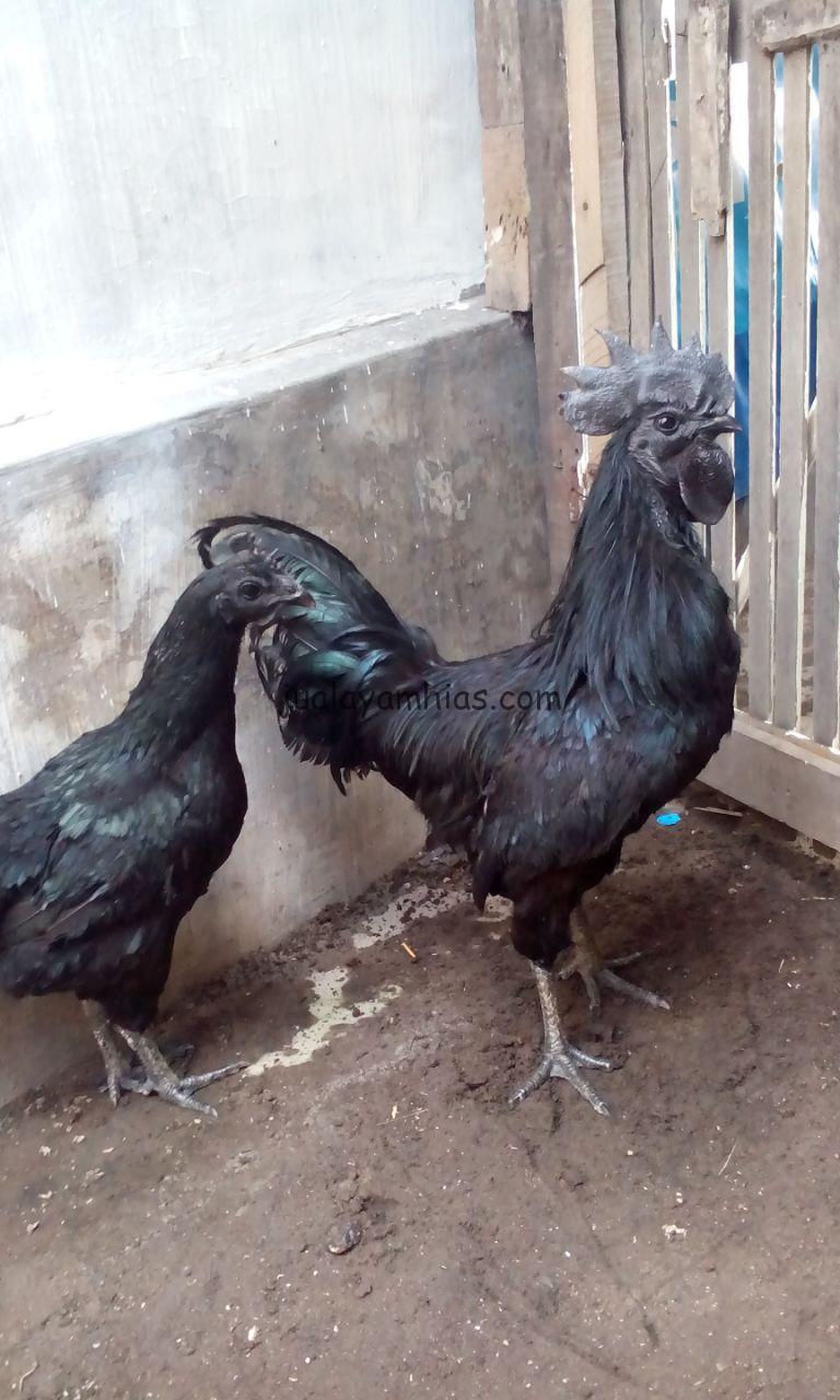 Jual Sepasang Indukan Ayam Batik Cemani