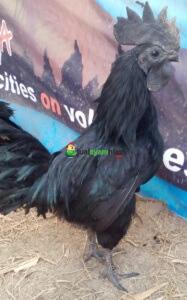 Ayam Cemani Dewasa