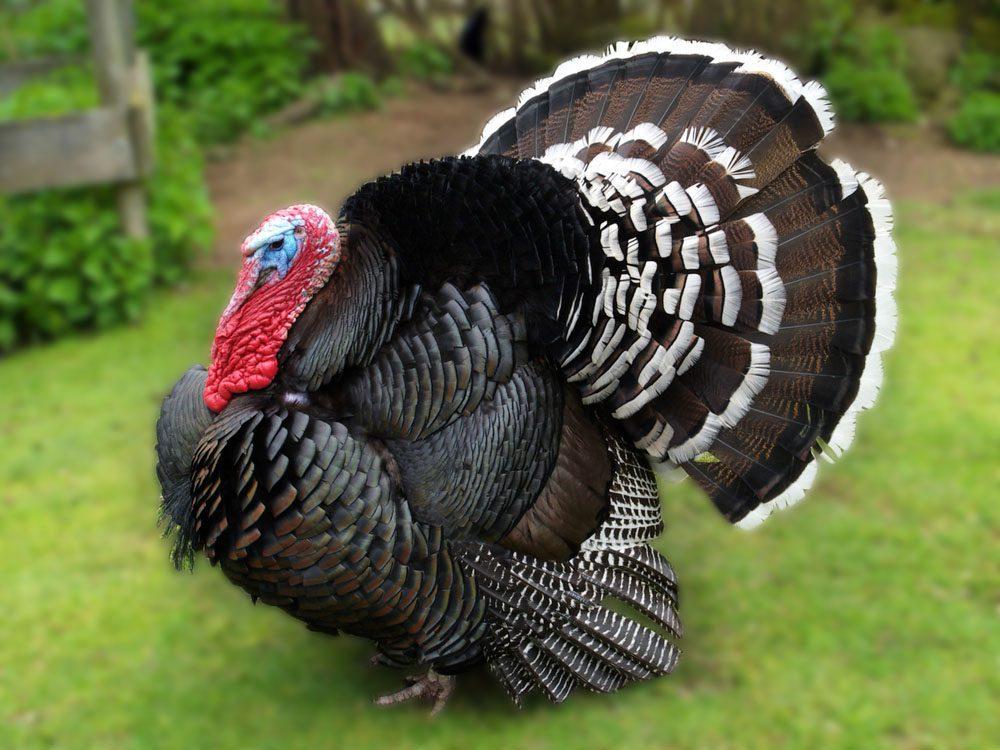 Ayam Kalkun Bronze Image