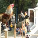 Ayam ketawa untuk kontes
