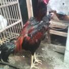 Ayam Bangkok umur 7 Bulan Cara Memilih Ayam Bangkok Berkualitas Jual Ayam Hias HP : 08564 77 23 888 | BERKUALITAS DAN TERPERCAYA Cara Memilih Ayam Bangkok Berkualitas Cara Memilih Ayam Bangkok Berkualitas