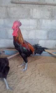 Indukan Ayam Pelung