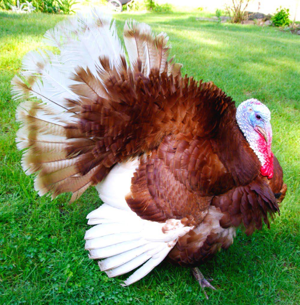 Ayam Kalkun Bourbon Red Image