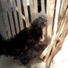 Ayam Cemani Walik Indukan Jantan