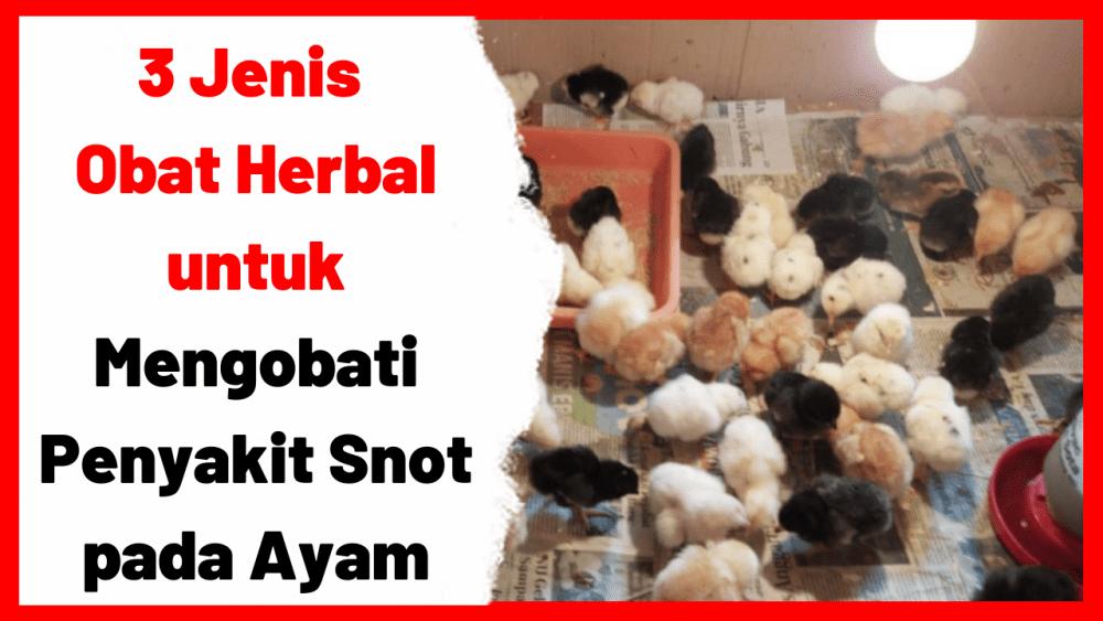3 Jenis Obat Herbal untuk Mengobati Penyakit Snot pada Ayam | gambar 1