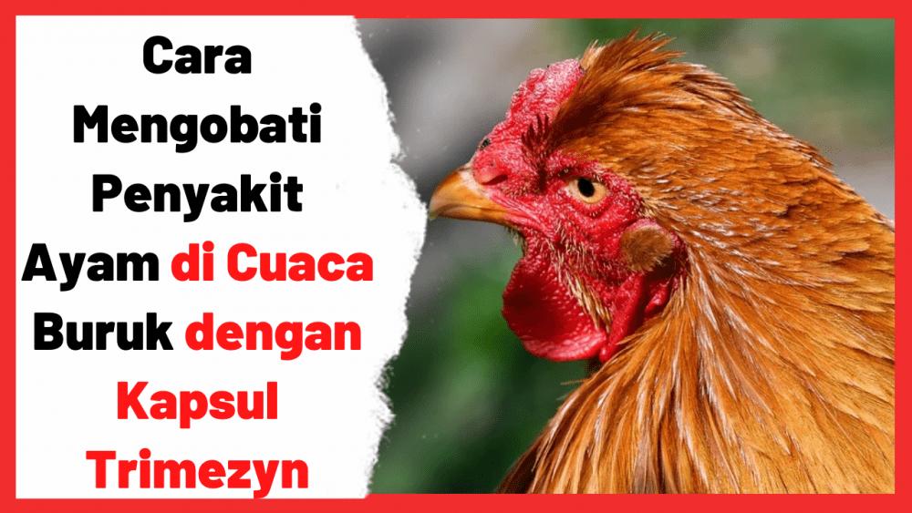Kapsul Trimezyn banyak digunakan peternak untuk mengobati ayam yang sakit | Obat Ayam
