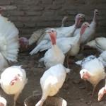 Ayam Kalkun Putih atau White Holland Turkey wa