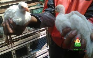 Ayam Mutiara Putih