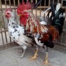Ayam ketawa Indukan Pesanan Dodi di Bekasi Siap Kirim