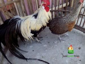 Sepasang Ayam Phoenix Dewasa Siap Kirim Via kereta Tujuan Stasiun Balapan Solo Pesanan Mas Adit di Jl. Monginsidi Solo