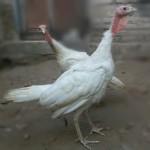 wpid ayam kalkun putih remaja atau white holland turkey muda.jpg jual kalkun putih Jual Ayam Hias HP : 08564 77 23 888 | BERKUALITAS DAN TERPERCAYA jual kalkun putih Jual Kalkun Putih atau White Holand Turkey Dari Bibit Sampai Dewasa
