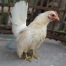 Ayam Serama Betina Warna Putih Umur 5 Bulan