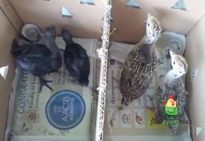 Ayam Kalkun Jenis dan Ayam Cemani Umur 1 bulanan Persiapan Kirim ke Yakub di Gunung Pati Kabupaten Semarang, Jawa Tengah