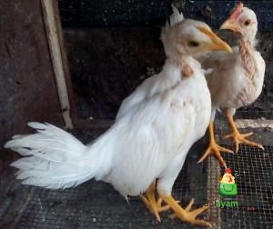 Ayam Ketawa Umur 1 Bulan