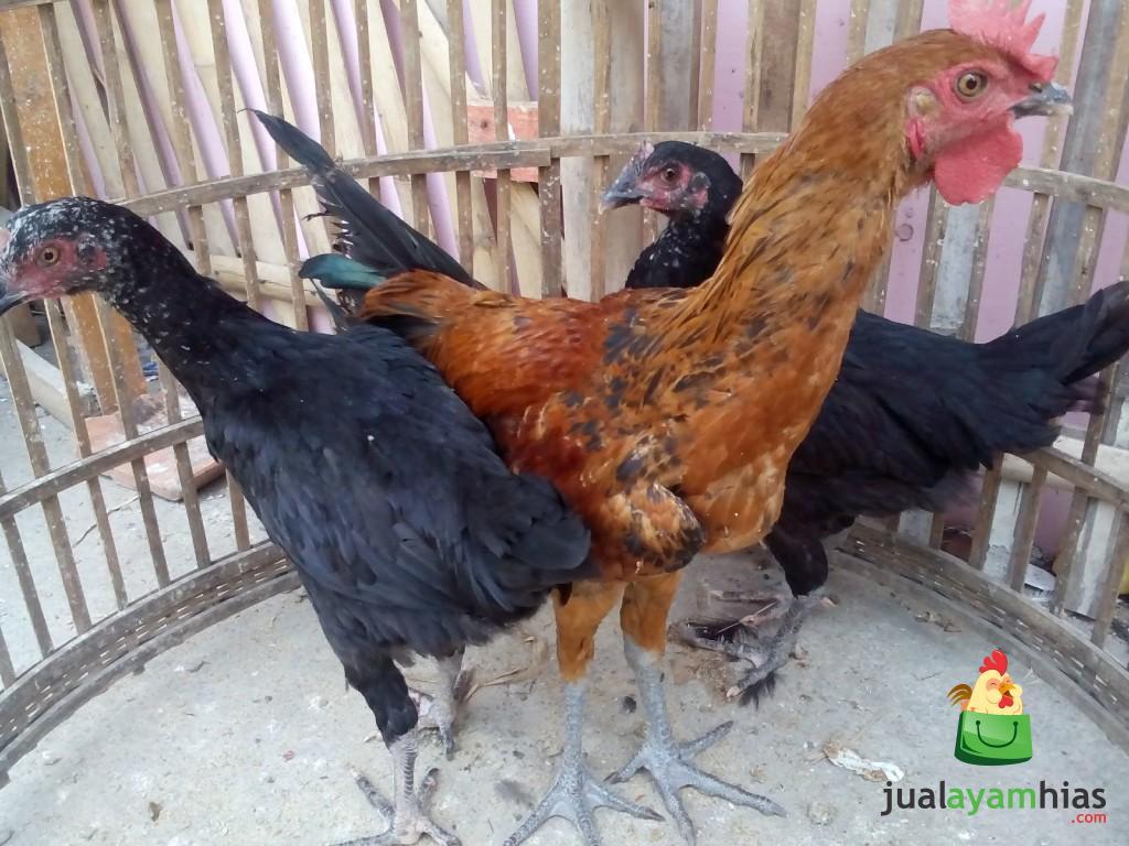 Ayam Pelung Persiapan Kirim ke Iwan Rudiawan di Lingkar Selatan Daerah Jambi Selatan