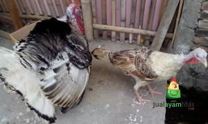 Beberapa Ayam Hias Pesanan Bapak Sean di Bandar Lampung