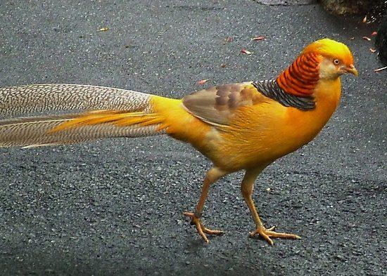 Ayam pheasant mempunyai sifat dapat bertahan hidup di lingkungan baru, tak terkecuali yellow pheasant ini