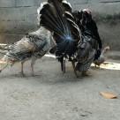 wpid wp 1442061596816 Jual Ayam Hias HP : 08564 77 23 888 | BERKUALITAS DAN TERPERCAYA Sepasang Ayam Kalkun Bronze di Belakang Kantor jualayamhias.com
