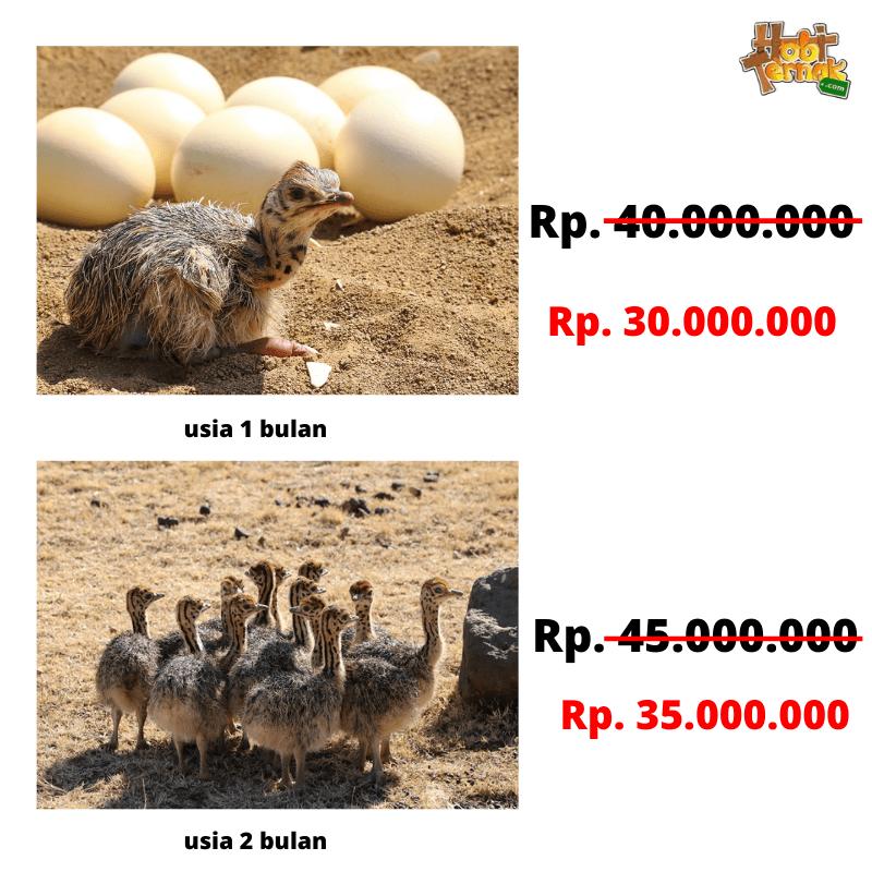 Copy of Copy of Add a heading 1 Jual Ayam Hias HP : 08564 77 23 888   BERKUALITAS DAN TERPERCAYA Menyediakan Burung Unta dengan Harga Terjangkau
