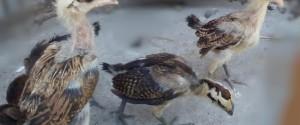 Anakan Ayam Pelung 1 Bulan