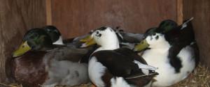 call duck Beternak Entok Jual Ayam Hias HP : 08564 77 23 888 | BERKUALITAS DAN TERPERCAYA Beternak Entok Peluang Usaha Sampingan dengan Beternak Entok