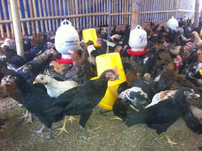 Ayam Kampung Pedaging Jual Ayam Hias HP : 08564 77 23 888   BERKUALITAS DAN TERPERCAYA Mari Mengenal 3 Metode Pembesaran Ayam Pedaging Unggul