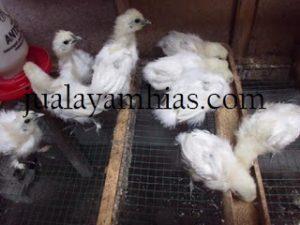 Ayam Kapas Usia 1 Bulan