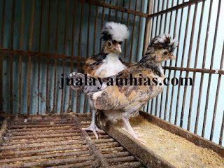 Pengiriman Ayam Polan Pesanan Mas Hario di Surabaya