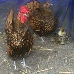 Ayam Batik Kanada Dewasa 22 Jual Ayam Hias HP : 08564 77 23 888 | BERKUALITAS DAN TERPERCAYA Galeri Foto