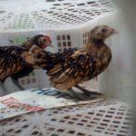 Ayam Batik Kanada Umur 2 Bulan Pesanan Bapak Wirza di Jakarta