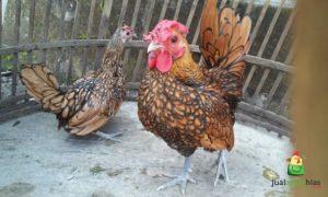 Ayam Batik Kanada dan Ayam Batik Itali Pesanan Bapak Dana di Jakarta