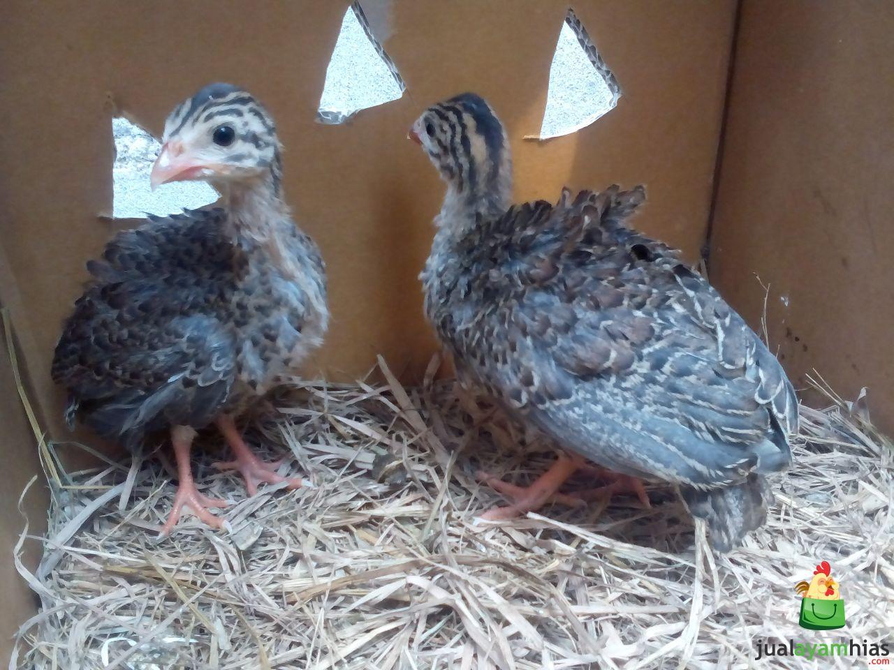 Ayam Mutiara Umur 1 Bulan Sepasang Pesanan Ibu Anah di Cimahi